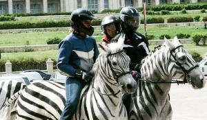 Caii deghizati in zebre au filmat ieri aproape 6 ore incontinuu